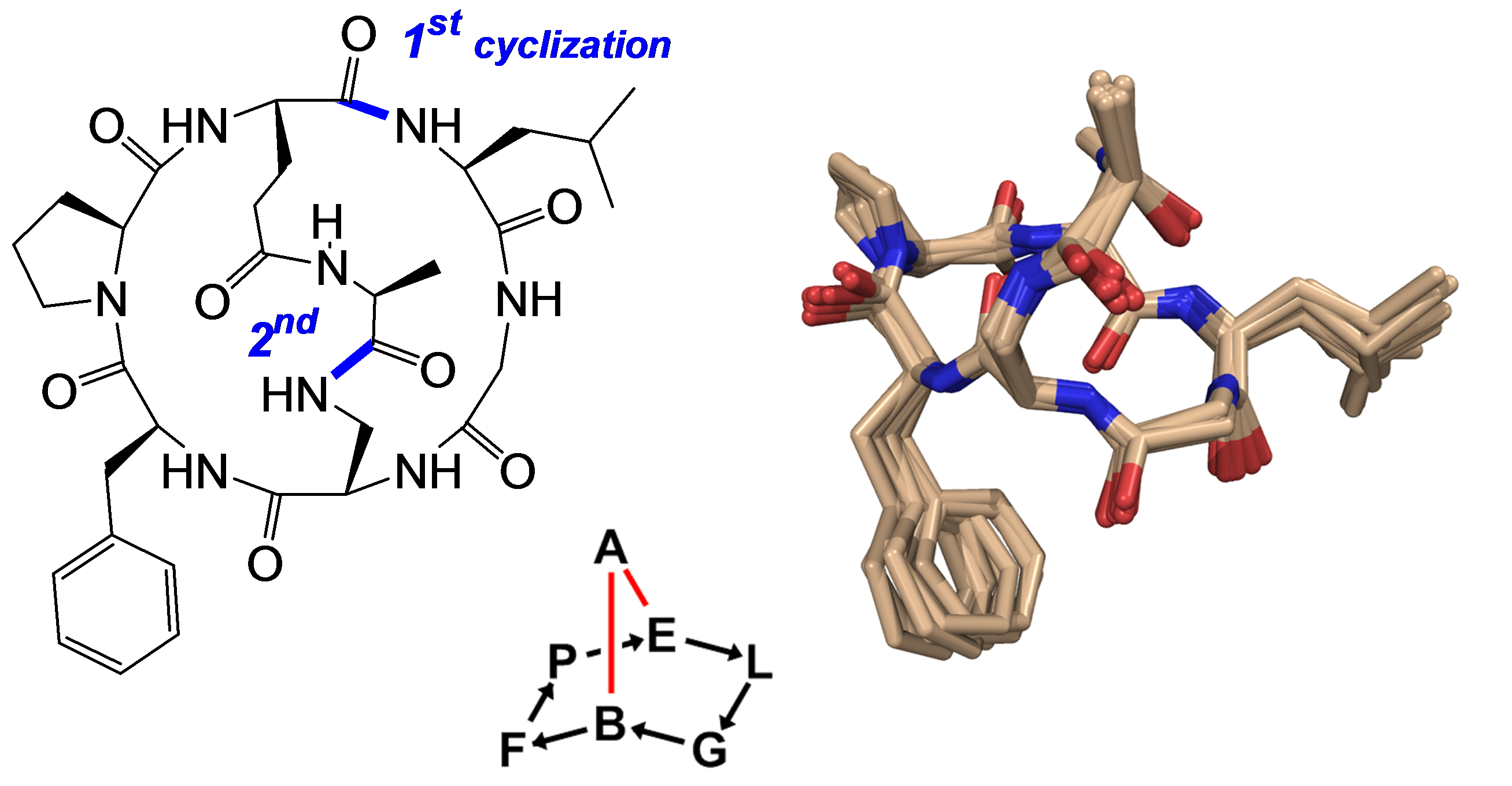 Structure of a bicyclic peptide