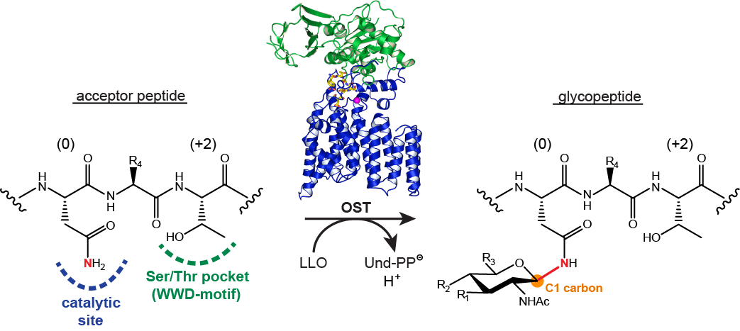 Oligosaccharyltransferase catalyzes N-linked protein glycosylation